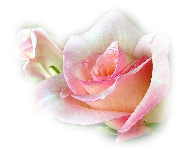 les roses sont les fleurs que je pr f re. Black Bedroom Furniture Sets. Home Design Ideas