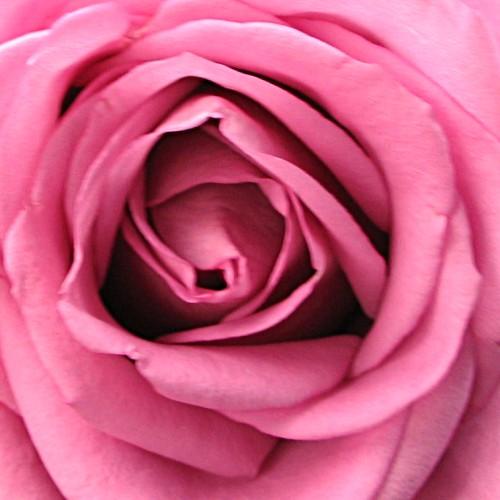 image gallery les fleurs roses. Black Bedroom Furniture Sets. Home Design Ideas
